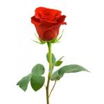 single-red-rose-long-stem-uganda-kampala-online